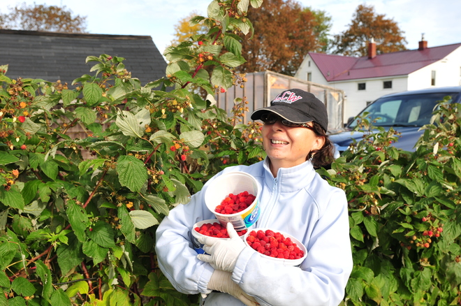 Raspberry picking. Cap-Pele, New Brunswick Canada
