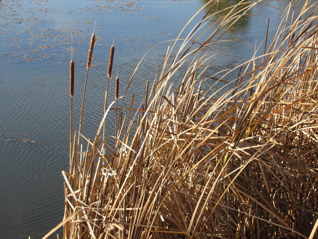 Lots of Cattails along the marshes Sackville, New Brunswick Canada
