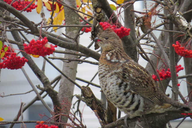 Ruffed grouse Timmins, Ontario Canada