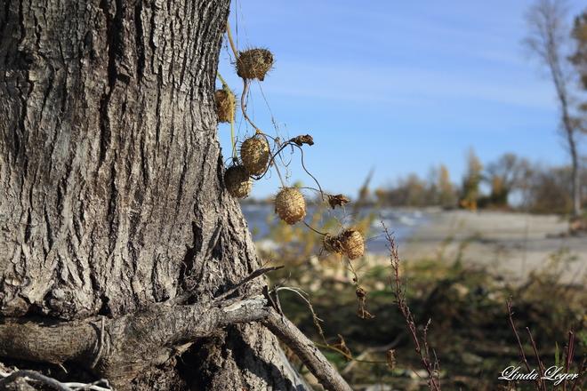 Wild Cuke Vine St. Ambroise, Manitoba Canada
