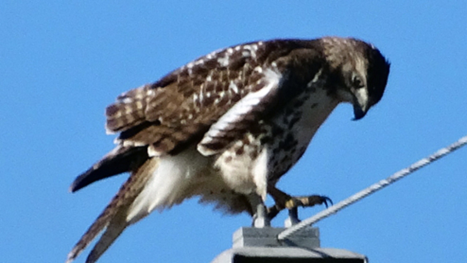 Hawk on a Tower Cambridge, Ontario Canada