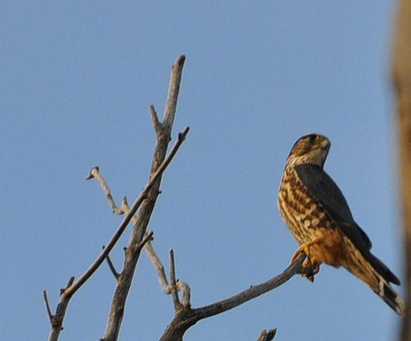 Hawk in a tree Smiths Falls, Ontario Canada