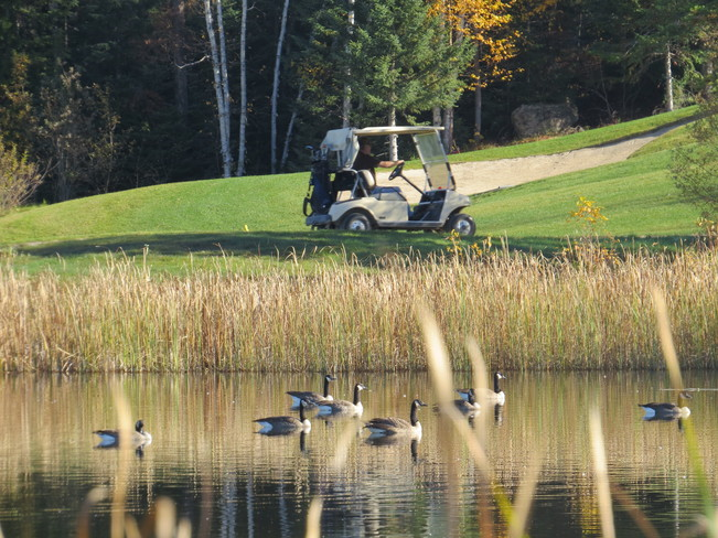 Golfers and geese Timmins, Ontario Canada