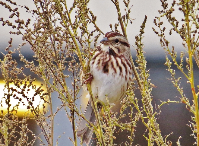 Song Sparrow enjoying a few seeds. North Bay, Ontario Canada