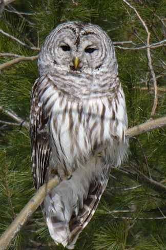 Barred Owl Bummers' Roost, Ontario Canada