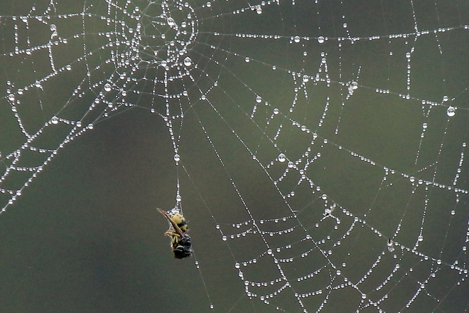 Bee trapped in a web Surrey, British Columbia Canada