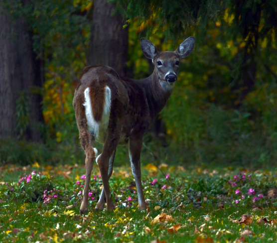 Young Mother Deer pauses for a photo Scarborough, Ontario Canada