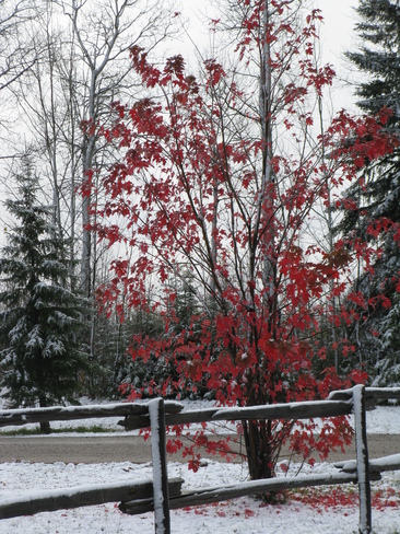 Fall colours with snow. Cochrane, Ontario Canada