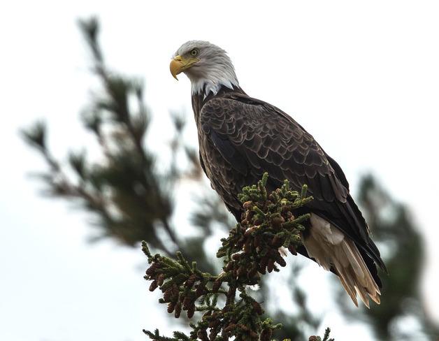Up Close - Eagle Wallace, Nova Scotia Canada