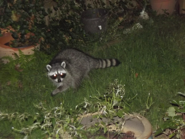 The Running Raccoon Greater Vancouver, British Columbia Canada