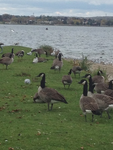 lazy day geese Barrie, Ontario Canada