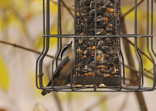 Red-breasted Nuthatch Dalmeny, Saskatchewan Canada