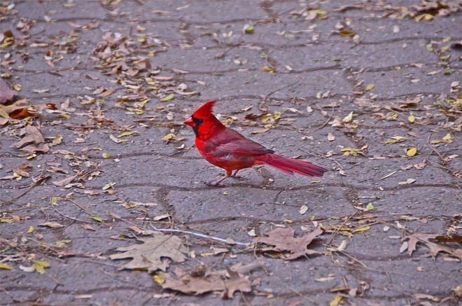 Cardinal Oakville, Ontario Canada