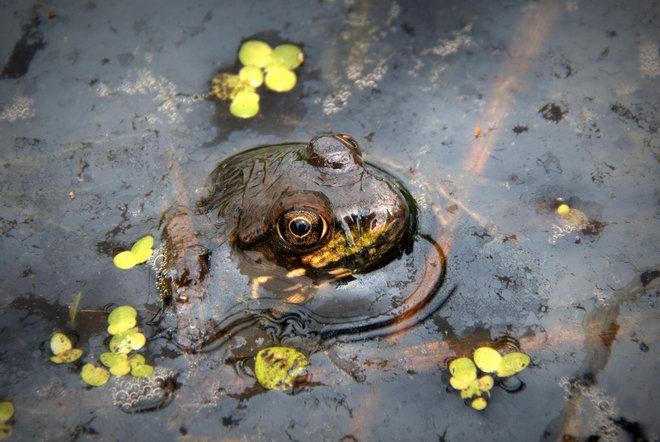 An Emerging American Bullfrog Surrey, British Columbia Canada
