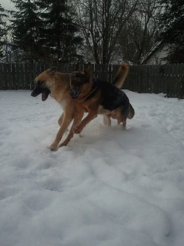 My Shepherds Playing in the Snow
