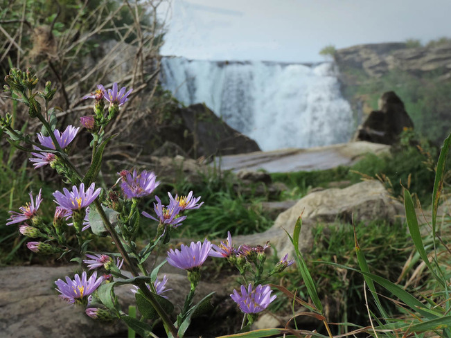 Waterfall and Wild Asters Lethbridge, Alberta Canada