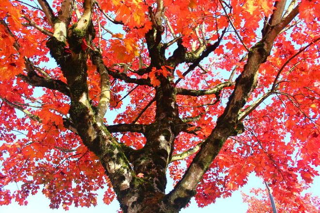 red maple leaves Richmond, British Columbia Canada
