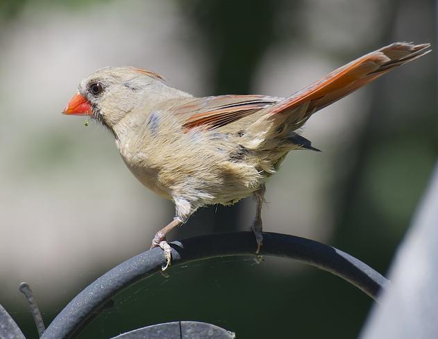 Lady Cardinal Pickering, Ontario Canada