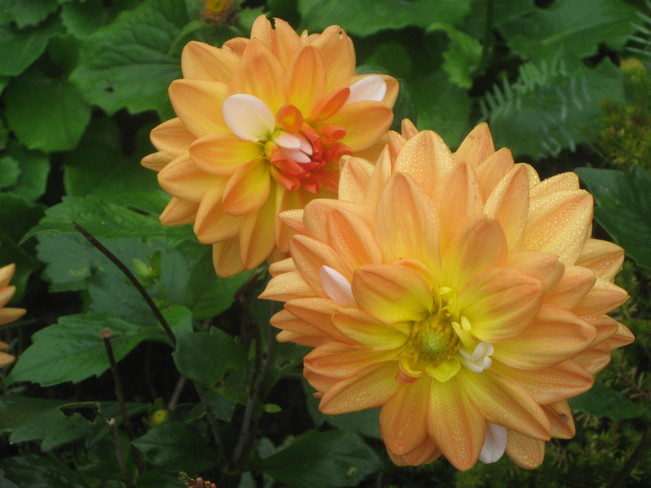 dahlias Surrey, British Columbia Canada
