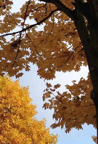 beautiful autumn leaves Richmond, British Columbia Canada