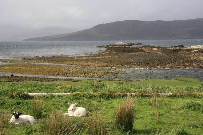 Relaxing Lambs Portree, Highland, Highlands and Islands United Kingdom