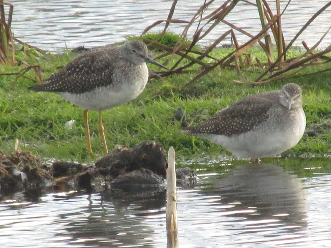 Greater Yellowlegs Still present on the marshes Sackville, New Brunswick Canada