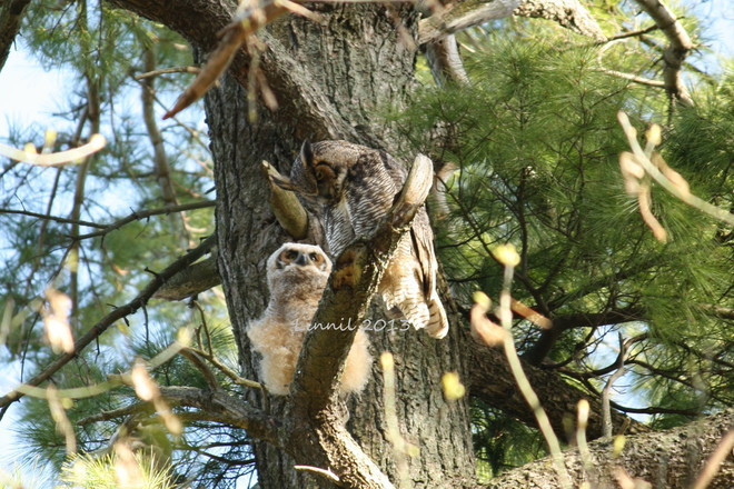 horned owl with babe Brighton, Ontario Canada