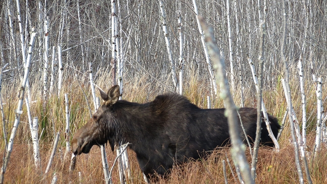 MOOSE IN THE BIRCHES Welsford, New Brunswick Canada
