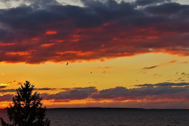 Gulls winging it to their safe haven at sunset. North Bay, Ontario Canada