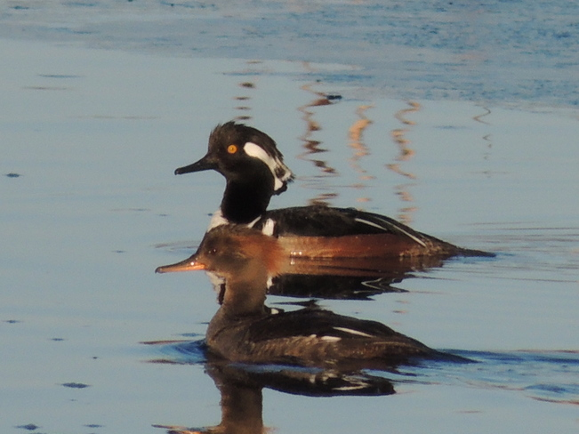 A Pair of Hooded Mergansers for J.M. Port Perry, Ontario Canada