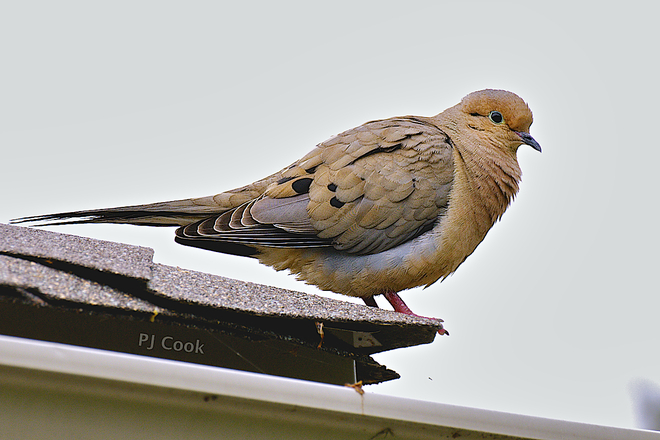 Mourning dove Pickering, Ontario Canada