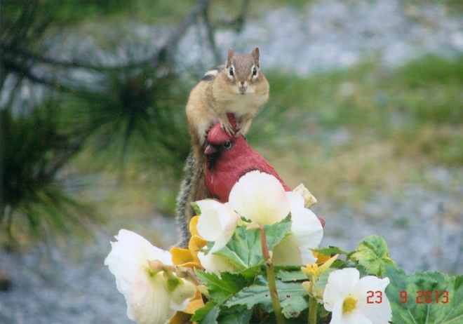 Chipmunk on Garden Statue Quispamsis, New Brunswick Canada