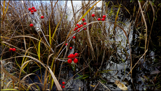 Sherriff Creek, red berries by the pond. Elliot Lake, Ontario Canada