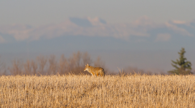 Coyote (what's new?) Langdon, Alberta Canada