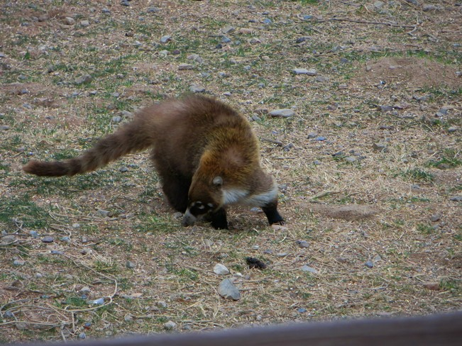 It's not a Racoon Tucson, Arizona United States