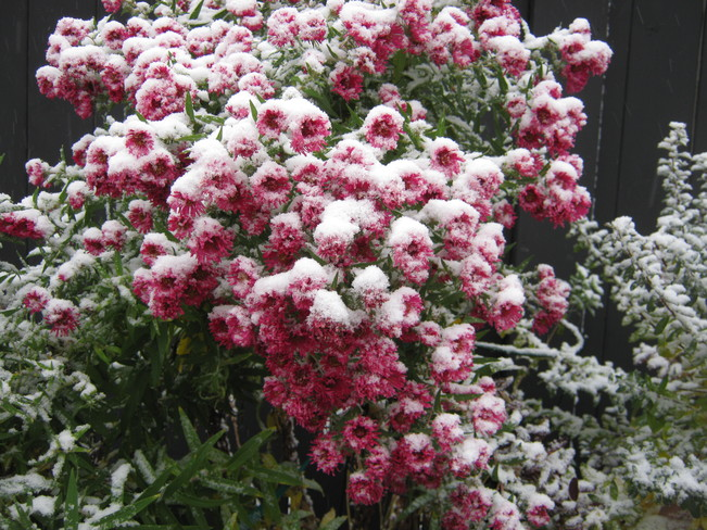 Snow on the Asters Medicine Hat, Alberta Canada