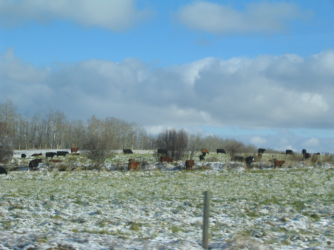 Cows enjoying first snow Darwell, Alberta Canada