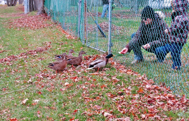 Feeding Donald & friends on a fall day. North Bay, Ontario Canada