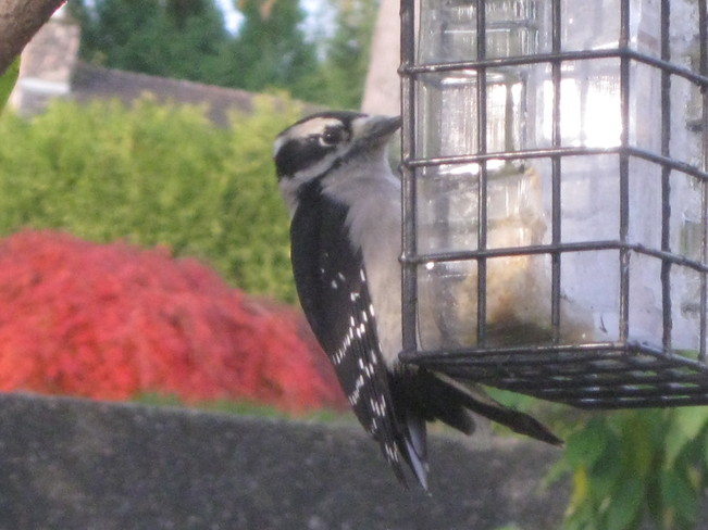 dining downy woodpecker Surrey, British Columbia Canada