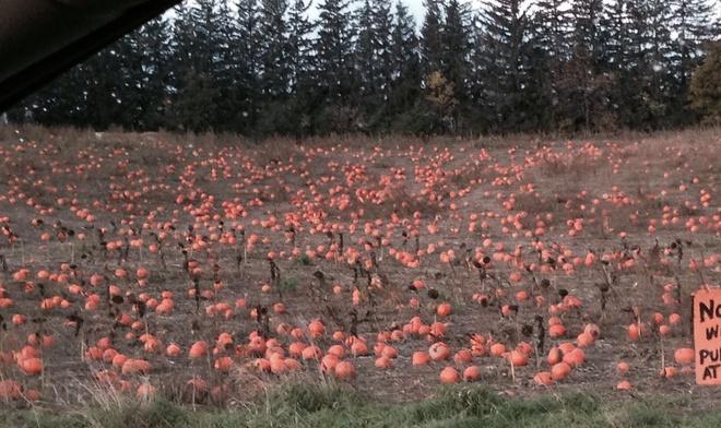 Pumpkin Patch Oak Ridges, Ontario Canada