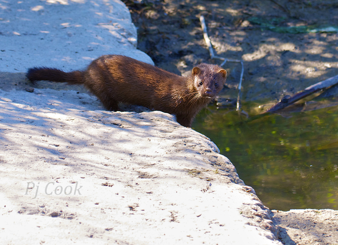 Q. : Otter or Weasel ??? Ajax, Ontario Canada