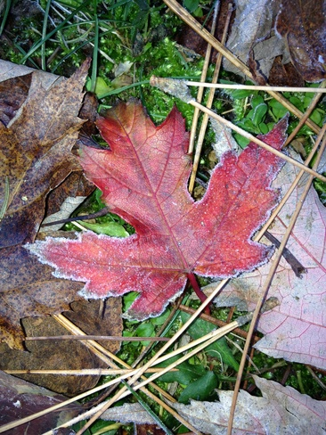 frosty maple leaf Bowmanville, Ontario Canada