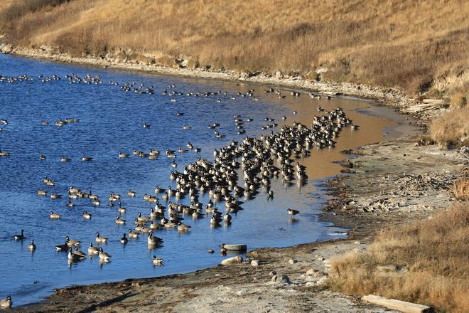 Cold geese Unity, Saskatchewan Canada