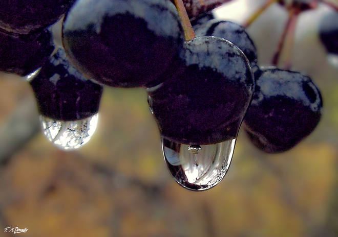 Raindrops on Berries Smiths Falls, Ontario Canada