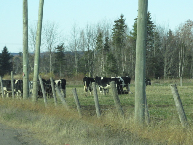 Cows Still Enjoying The Outdoors Riverview, New Brunswick Canada