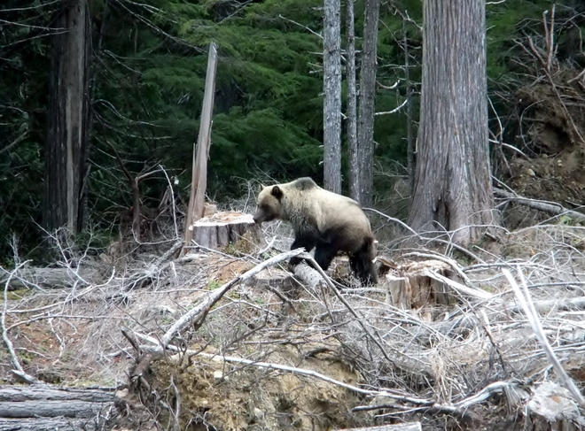 grizzly bear Fauquier, British Columbia Canada
