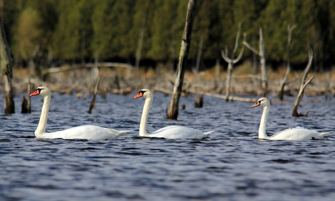 Swans at Luther Marsh Fergus, Ontario Canada