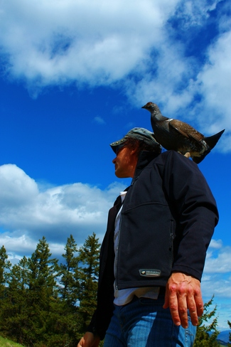 Blue Grouse Perching on Shoulder Kamloops, British Columbia Canada