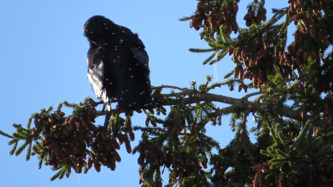 American Crow (Corvus brachyrhynchos) perched upon a White Spruce (Picea glauca) Chester, Nova Scotia Canada