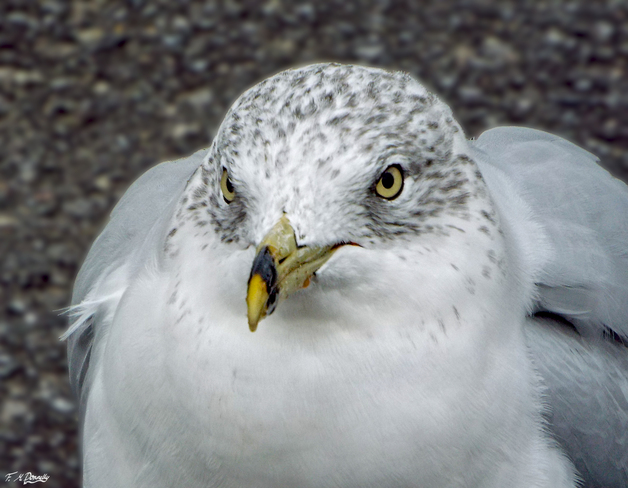 Ring billed gull Smiths Falls, Ontario Canada